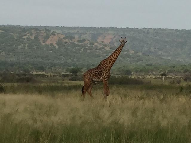 Giraffe in Akagera National Park