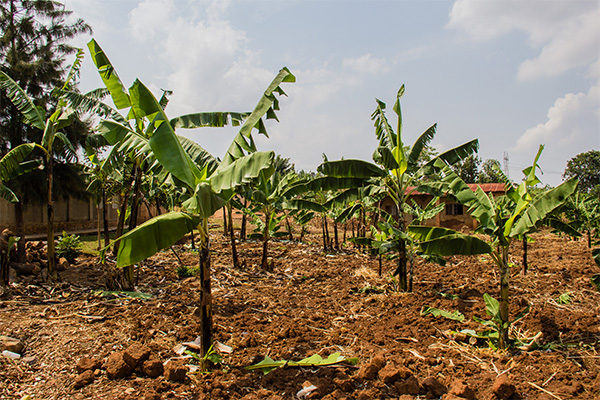 musave-bananas